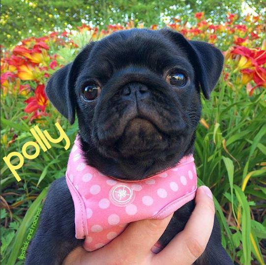 Polly pug flowers lipstickandnachos